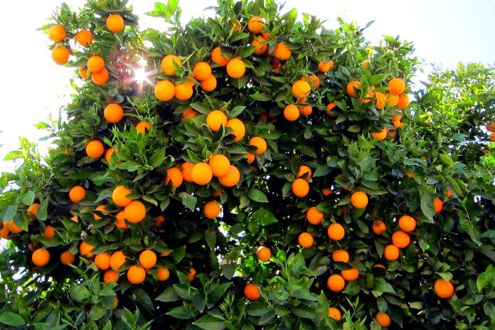 ухаживать за апельсином