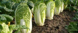 Как вырастить пекинскую капусту на огороде?
