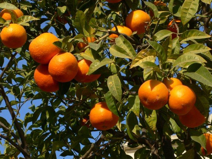 апельсины в саду