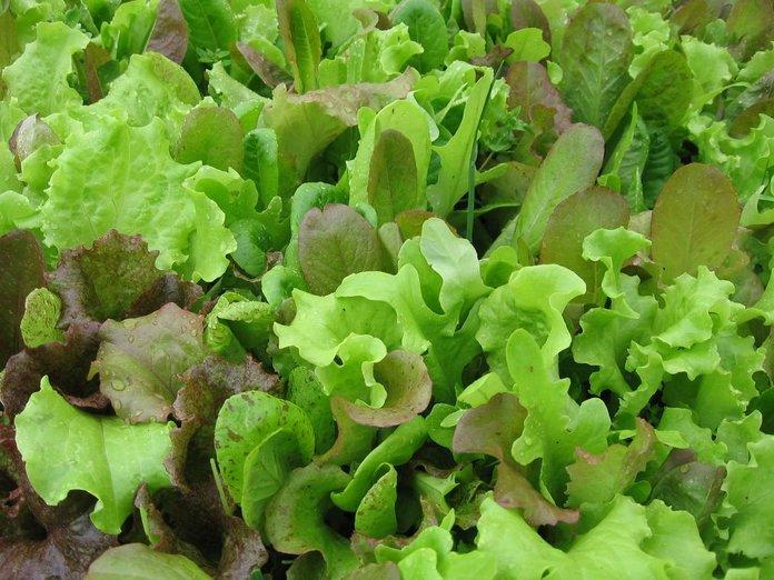 Сажаем салат особенности