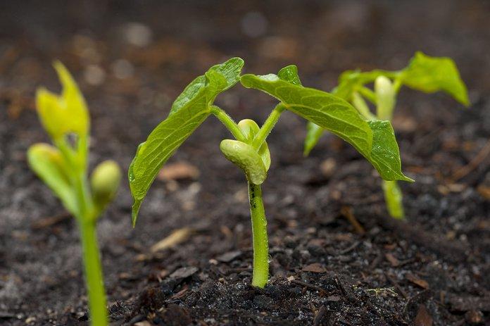 Почва для фасоли