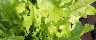 Как вырастить салат в открытом грунте?