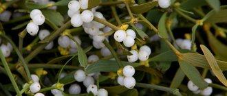 Полезные свойства белой омелы