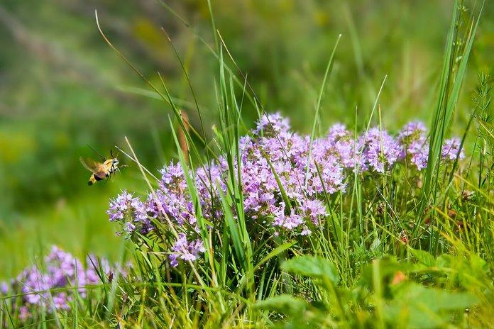 Цветущий тимьян и пчела