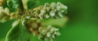 Полезные свойства шерстистой эрвы