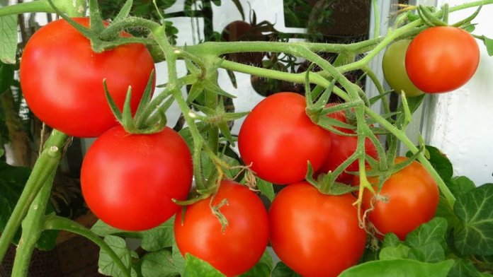 выращивание помидор в домашних условиях