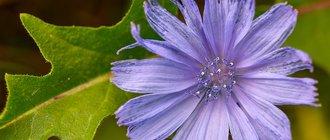 Цикорий: лечебные свойства и противопоказания