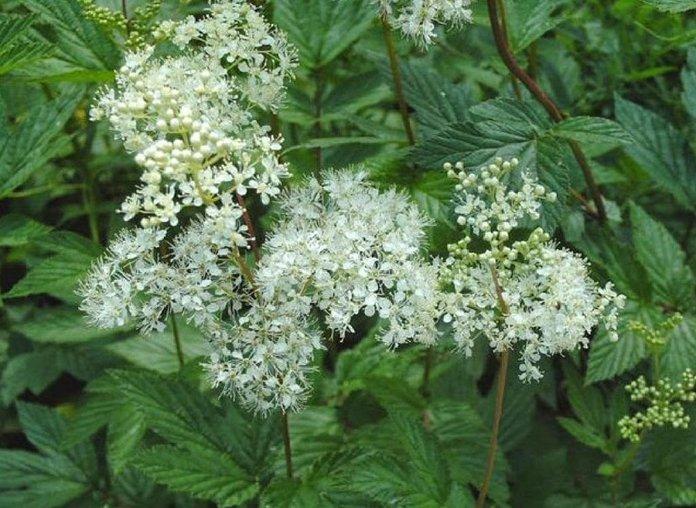 Лекарственное растение лабазник (таволга)