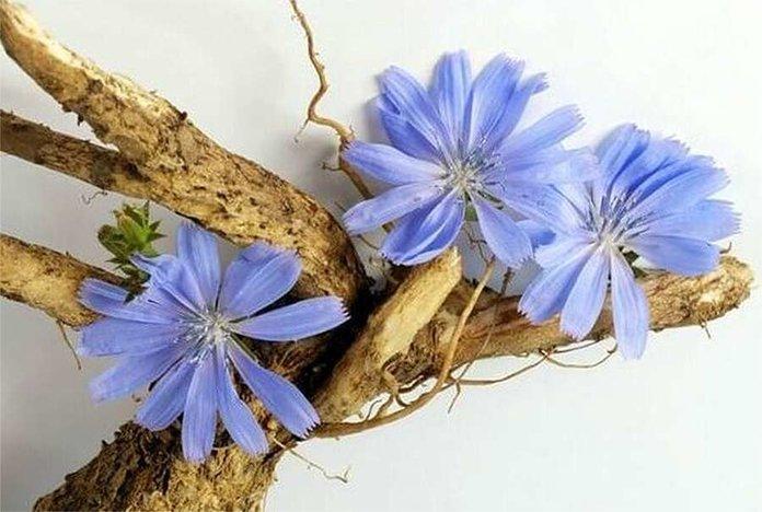 В народной медицине используют корень, цветы и побеги цикория