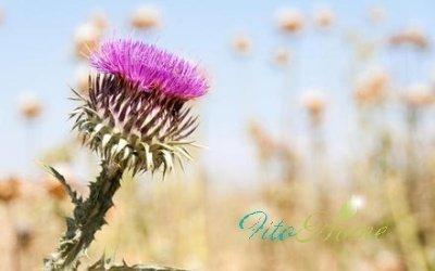 фото цветка расторопши
