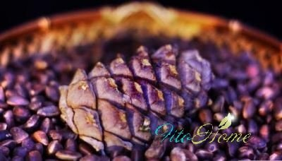 кедровая шишка и ее семена