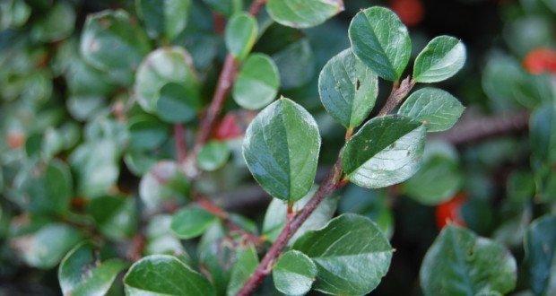 Брусника листья полезные свойства