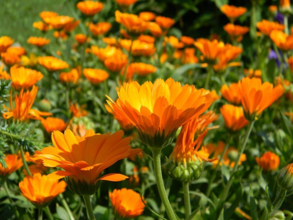 Ноготки цветков лечебные свойства и противопоказания