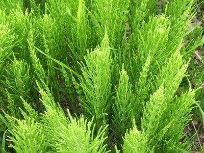полевой хвощ полезные свойства