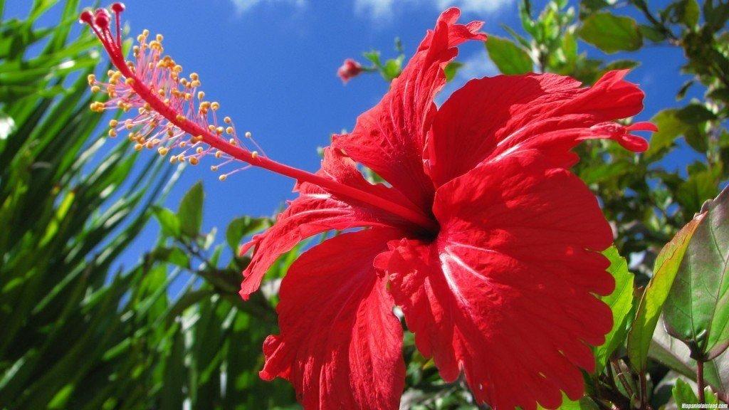 Гибискус: полезные свойства и противопоказания