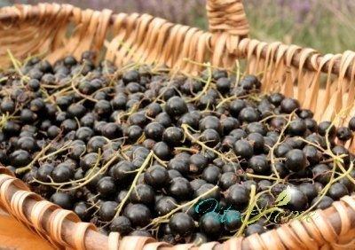черная смородина и витамины