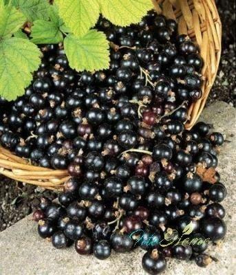 черная смородина и народная медицина