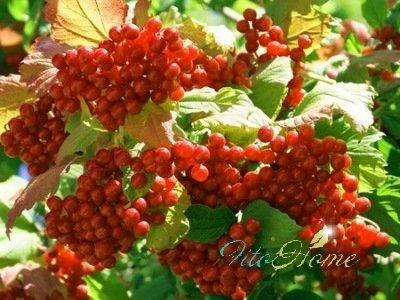 ягоды лимонника и народная медицина