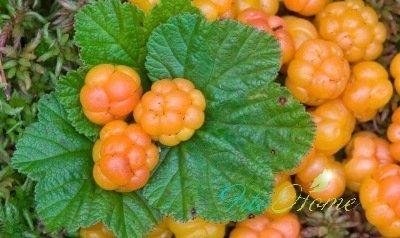 плоды морошки и их лечебные свойства