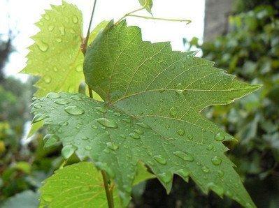 листья винограда и кулинария