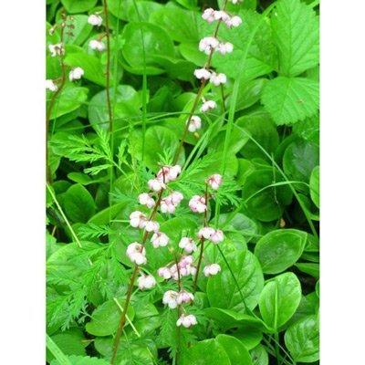 цветение растения для настойки