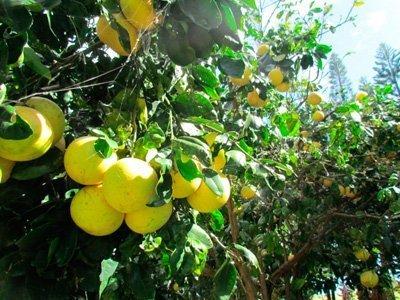 зеленый грейпфрут