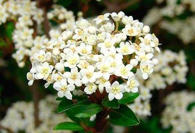 цветения калины