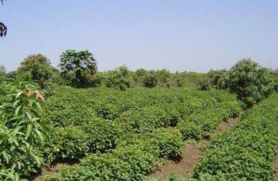 выращивание пачули