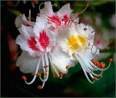 цветения каштана