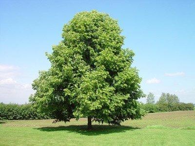 очень пышное дерево
