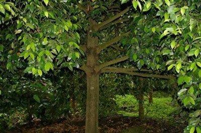 корицу делают из коры дерева