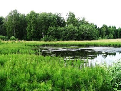 растет у болот и рек