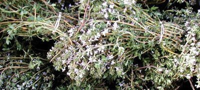 сушеная трава чабреца