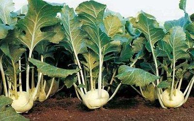 выращивание овоща