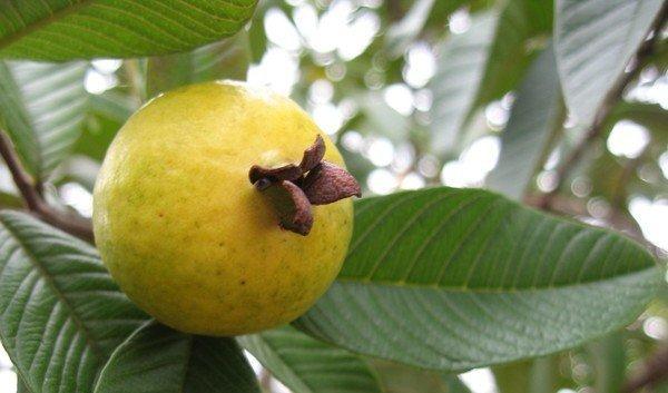 дерево гуава