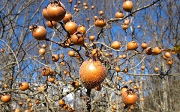мушмула дерево