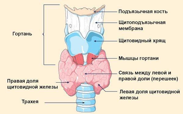 щитовидная железа, схема
