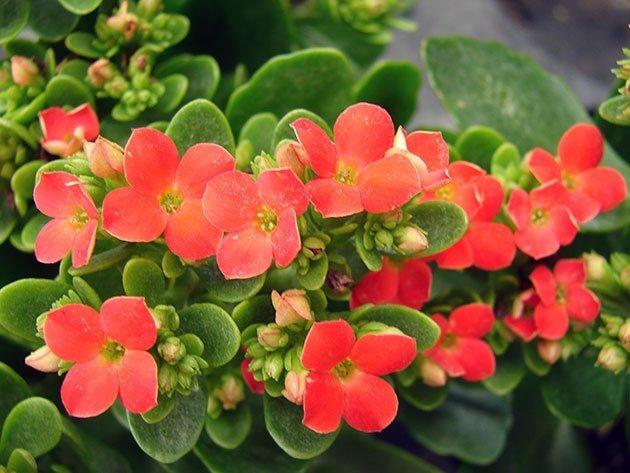 Колонхолия цветок уход фото лечебные свойства и противопоказания