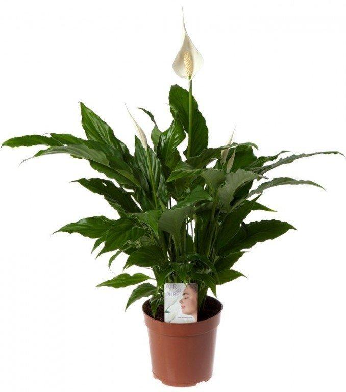 spathiphyllum-swee
