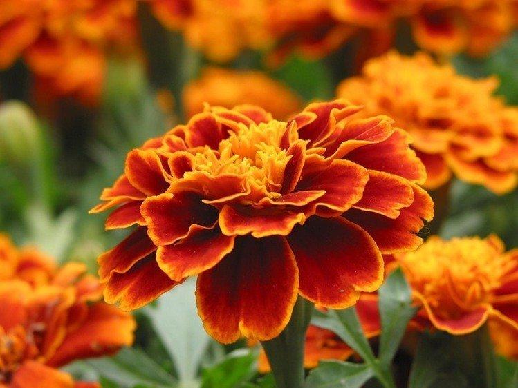 Цветок бархатцы лечебные свойства