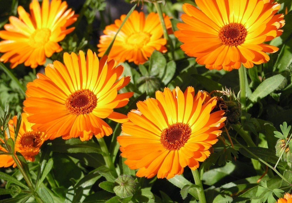 Ноготков цветки применение
