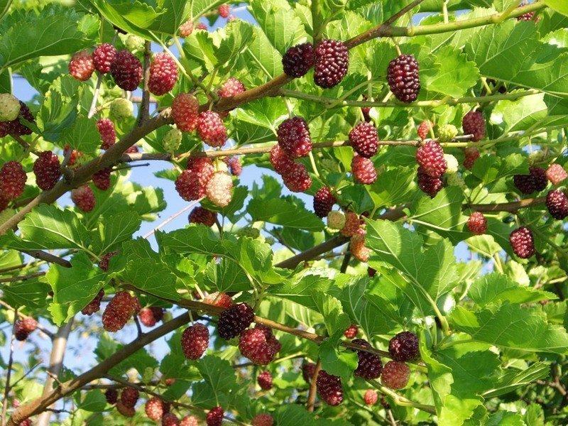 Шелковица выращивание и уход в средней полосе полезные свойства 21