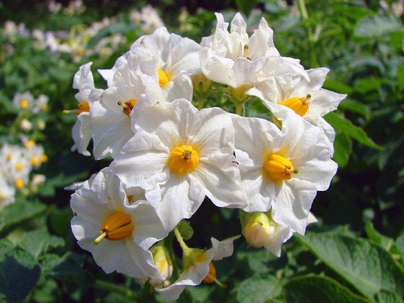 Надо-ли обрывать цветы у картофеля