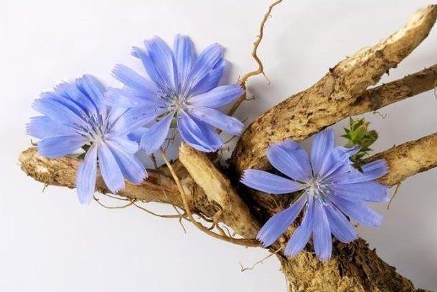 Цикорий для цветов