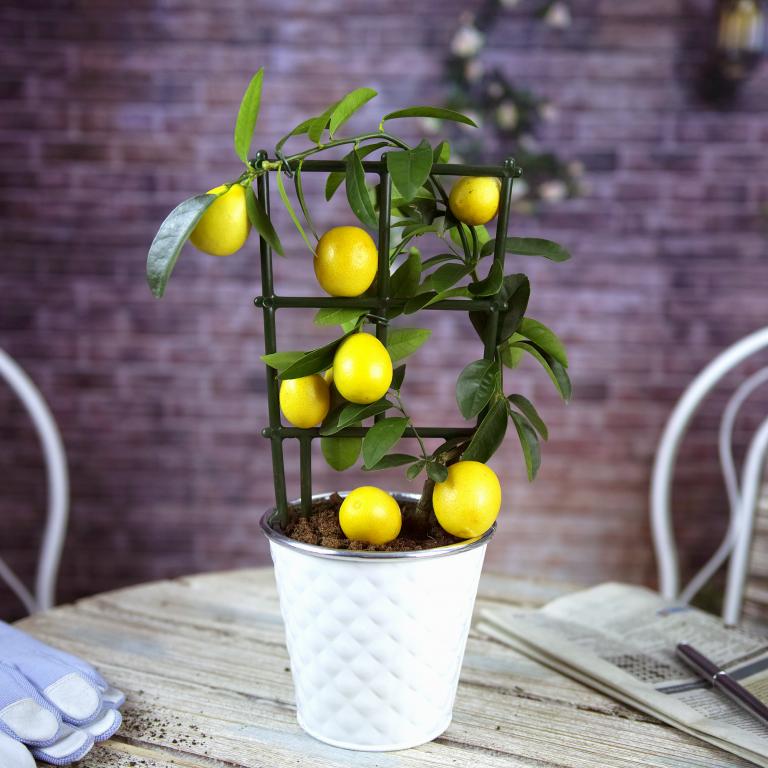 Выращиваниё лимонов 36